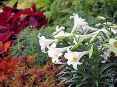 How To Care For Your Easter Lily featured image