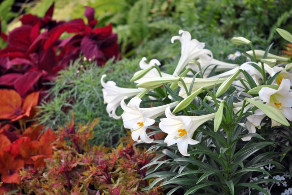 Easter lily - Flower