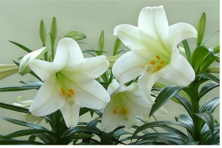 Easter lily - Madonna Lily