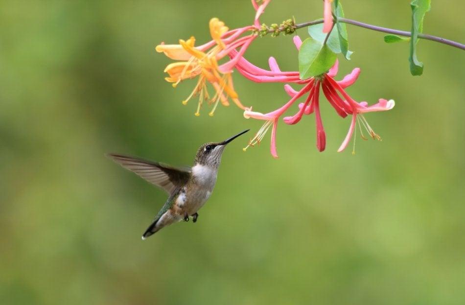 hummingbird drinking nectar from honeysuckles
