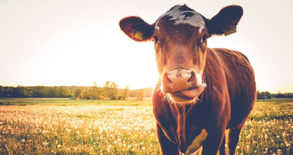 A cow in the field staring at the camera.