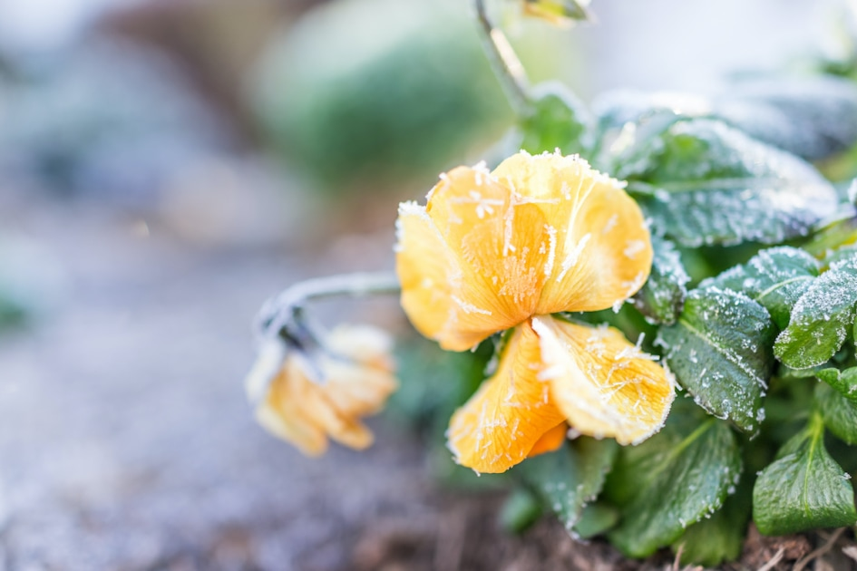 Macro closeup oorange pansy flower with frost ice crystals in winter morning in outdoor outside garden