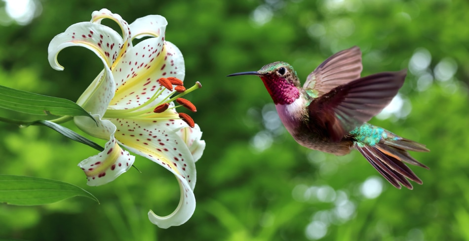 Hummingbird hovering next to lily flowers panoramic view