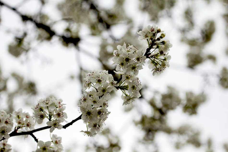 Dogwood Tree Blooming in Spring