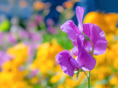 April Flower Lore: Sweet Pea featured image