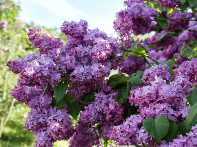 Lilacs: Growing Tips and Lore featured image