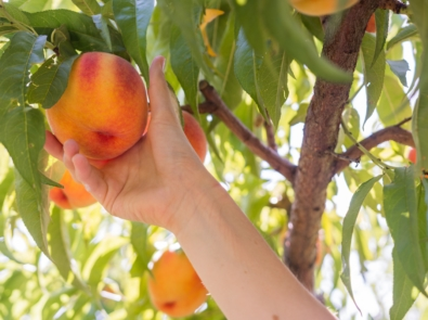Is It Ripe Yet? How to Tell When to Harvest These 5 Fruits featured image