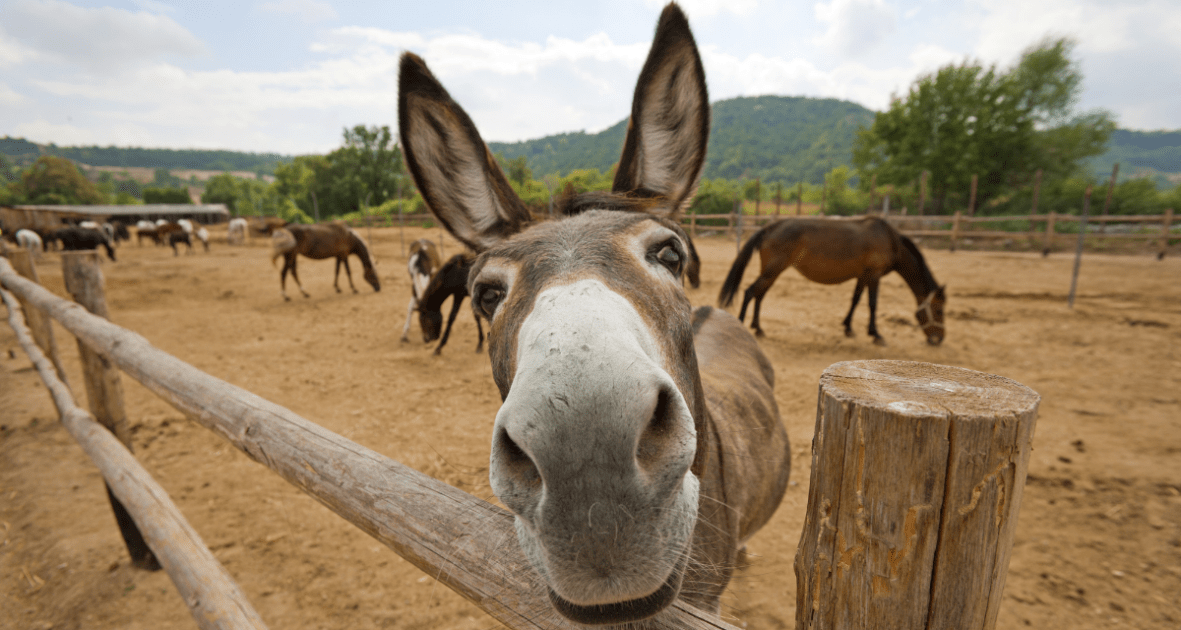 curious donkey looking at the camera.