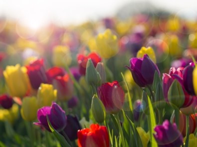 Can I Plant My Tulips In The Spring? featured image