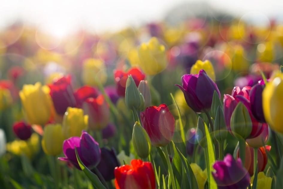 Tulip - Flower