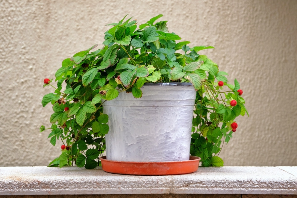 Pot with bush of with green leaves and berries for landscape design. Strawberry bush with red berries in metal flowerpot.
