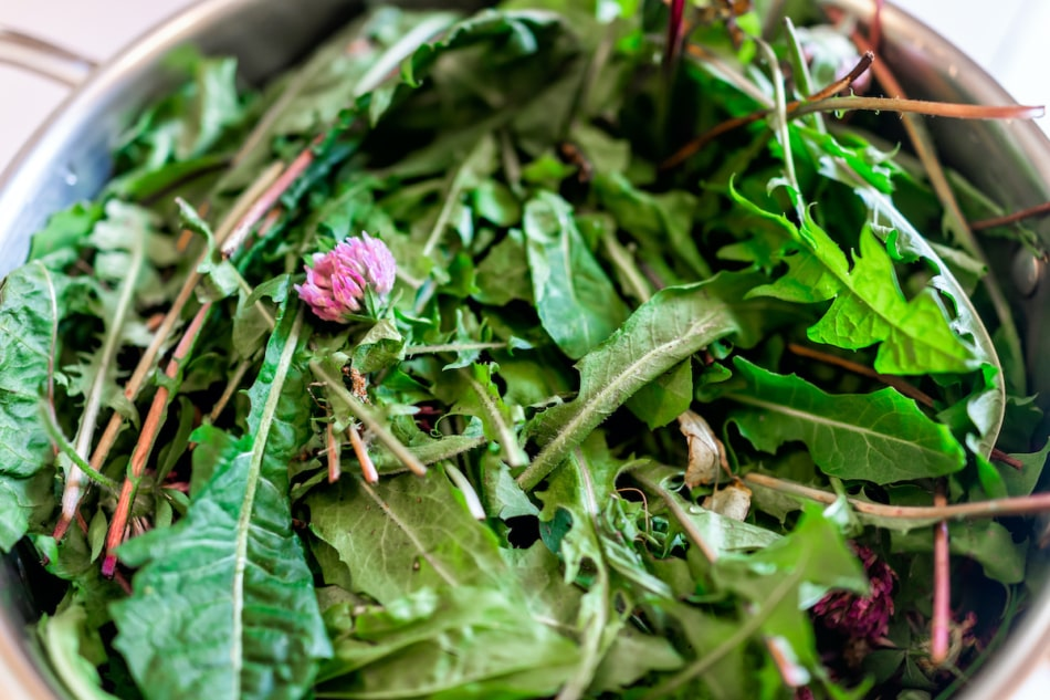 Pot filled with wild green dandelion leaves and pink clover flowers for health closeup showing detail and texture