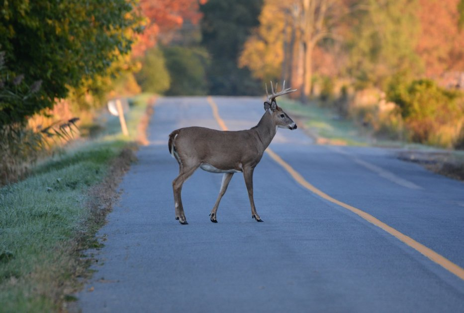 White tailed deer buck on road