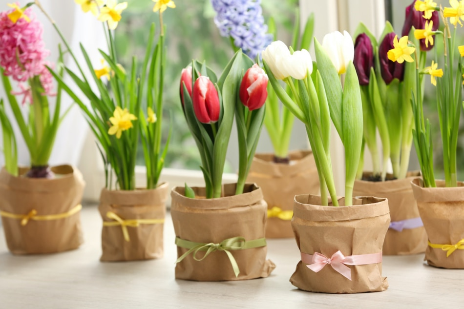 Tulip, narcissus and hyacinth potted on table