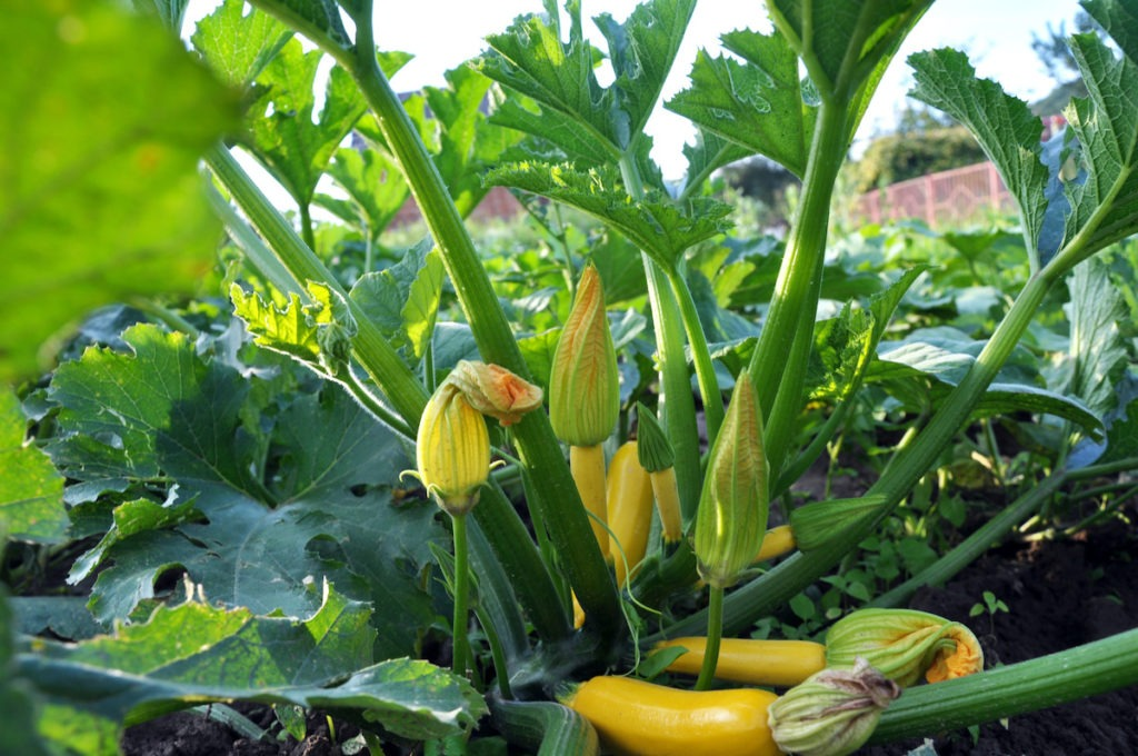 Courgette with fruits, flowers and leaves growing on the land
