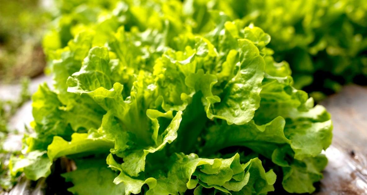 Lettuce - Seed