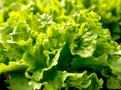 How to Grow Lettuce featured image