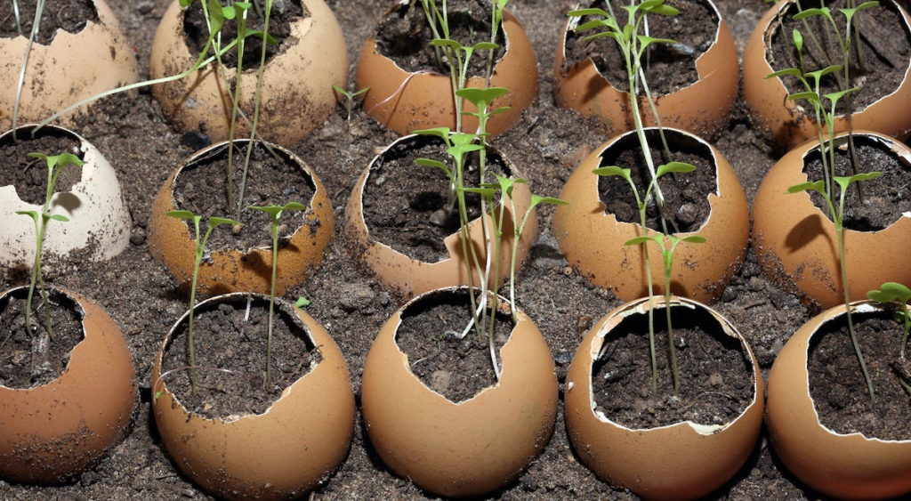 close-up of seedlings in the eggshell