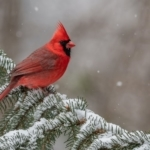 Northern cardinal - Stock photography