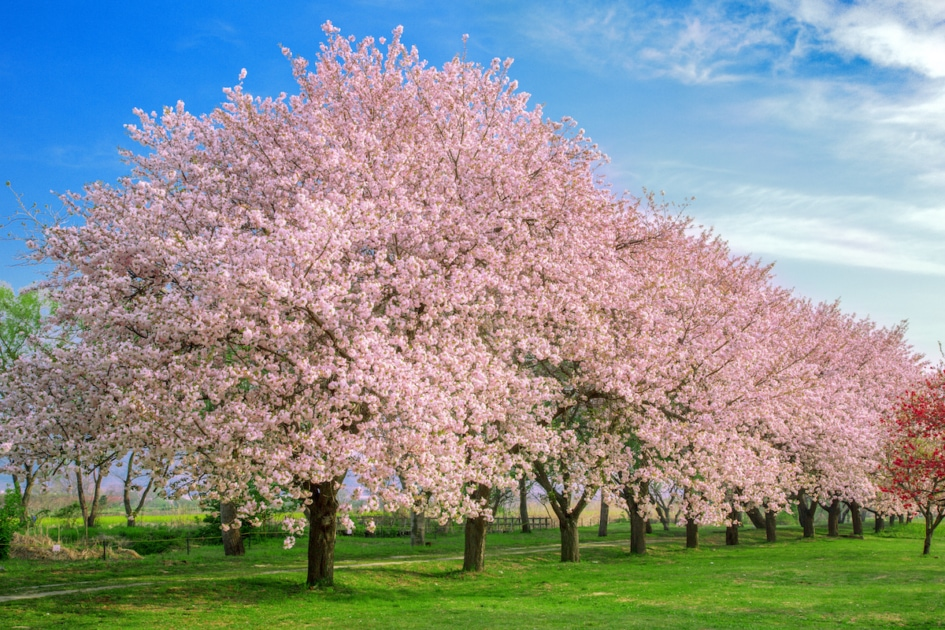 a row of cherry blossoms on green grass