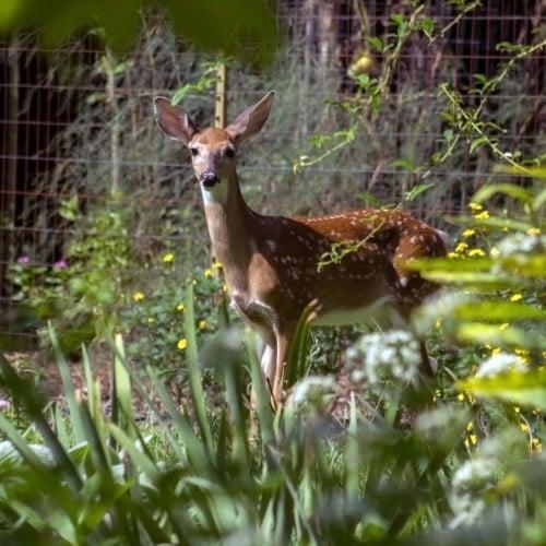 Easy DIY Deer Repellent Recipe image