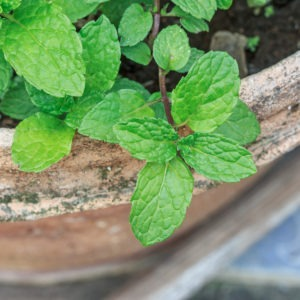 Plant Mint In Containers image