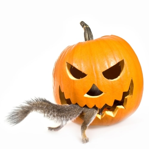 Keep Squirrels Away From Your Pumpkins! image