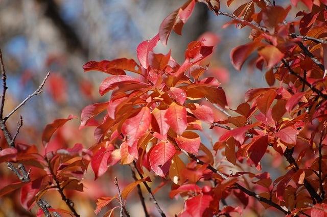 RedChokecherrytree