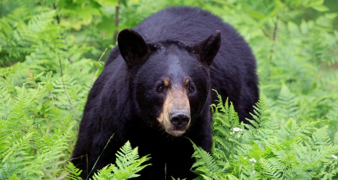 Bears - American black bear