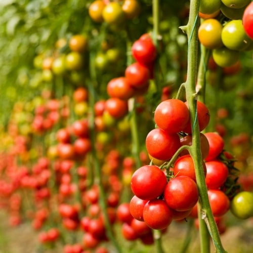 Help Your Tomatoes Ripen image