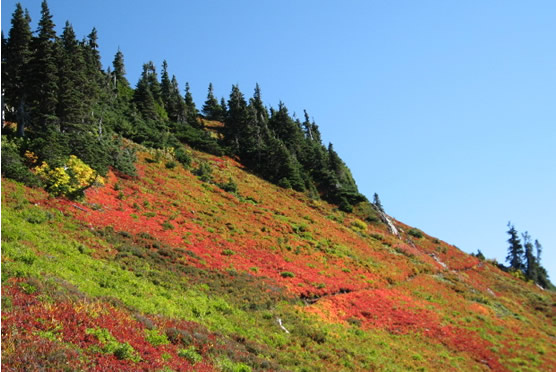Hillside showing a multicolored landscape of autumn colors at Olympic Mountains in Washington State.