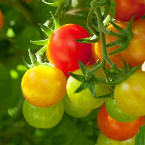 Picking Cherry Tomatoes image