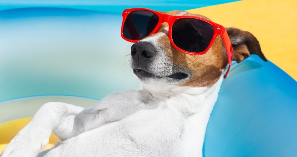 Jack Russell Terrier wearing red sunglasses and lying down at beach.
