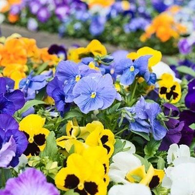 Planting Colorful Varieties image