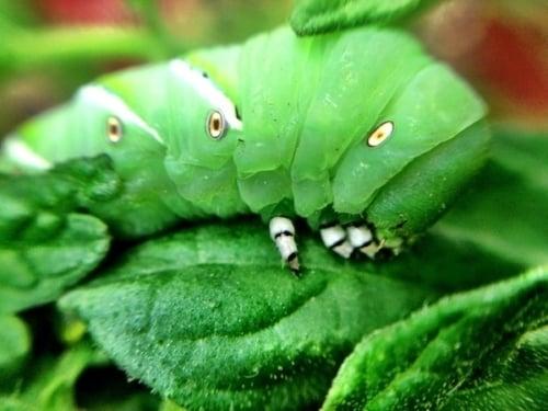 Prevent Tomato Hornworms image