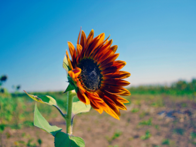 13 Reasons To Love Sunflowers Even More featured image
