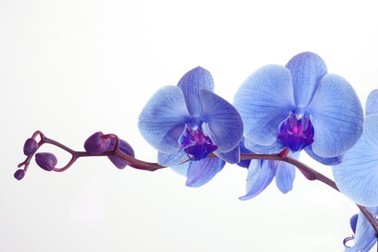 Orchids - painting