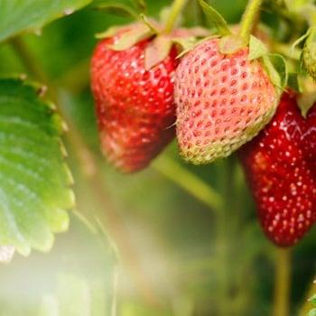 Growing Strawberries image