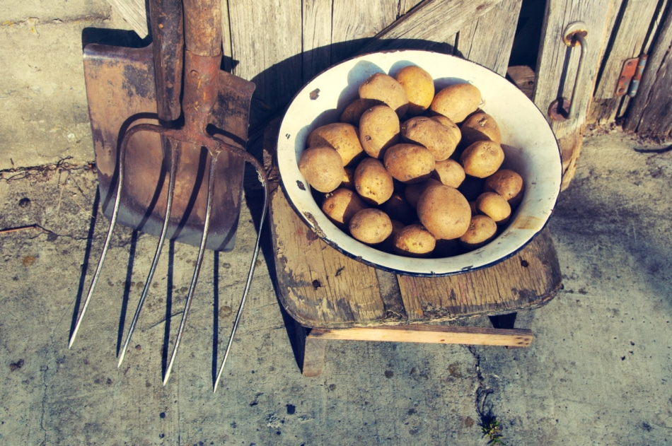 Potato in an iron old bowl, shovel and pitchfork on a wooden background.