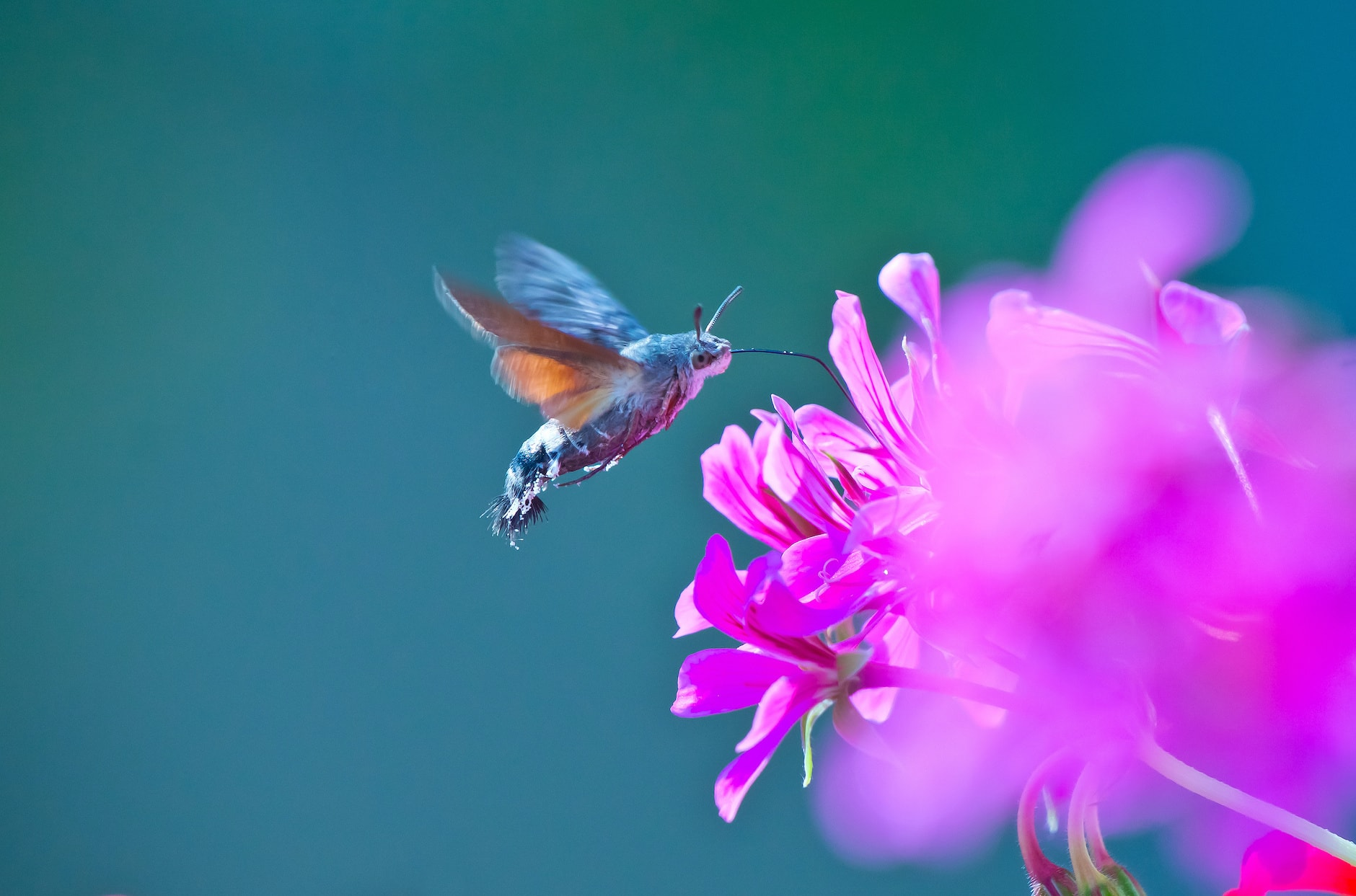 Have You Seen A Hummingbird Moth? Here Are 10 Fascinating Factsimage preview