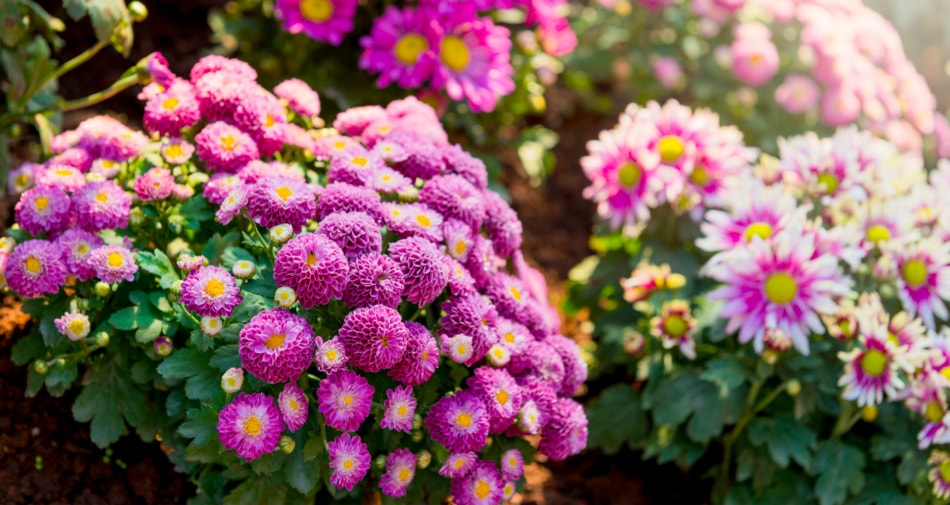 Chrysanthemum - Flower