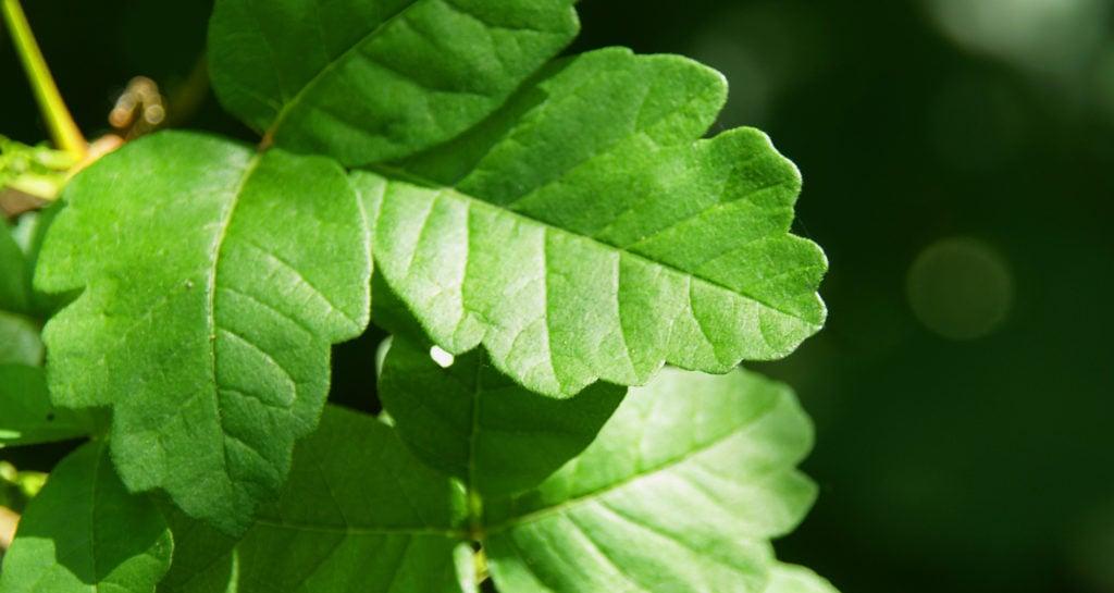 Pacific poison oak - Poison sumac