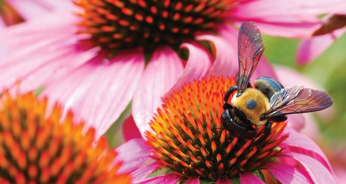 Bees - Honey bee