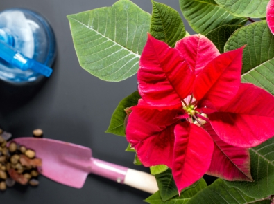 Buying & Caring Tips for Potted Poinsettia featured image