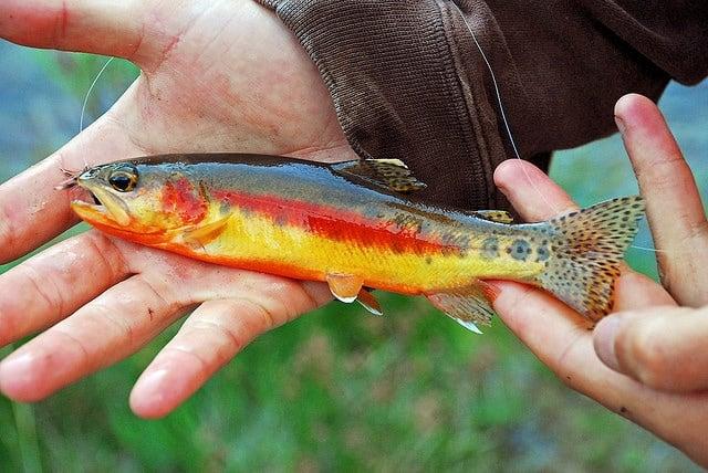 Golden trout - Trout