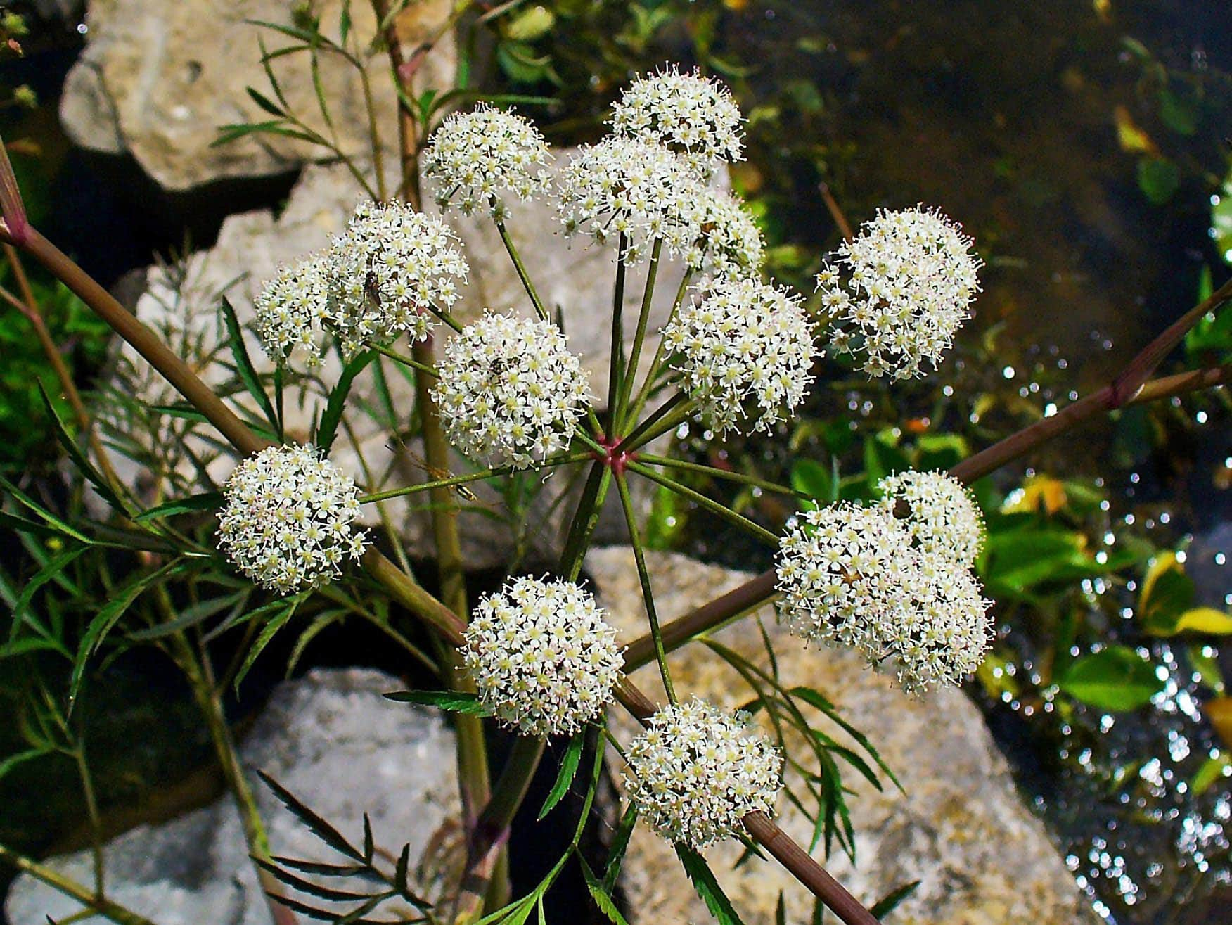 Water Hemlock Stems and Flowers - Image courtesy of H. Zell, Wikimedia Commons