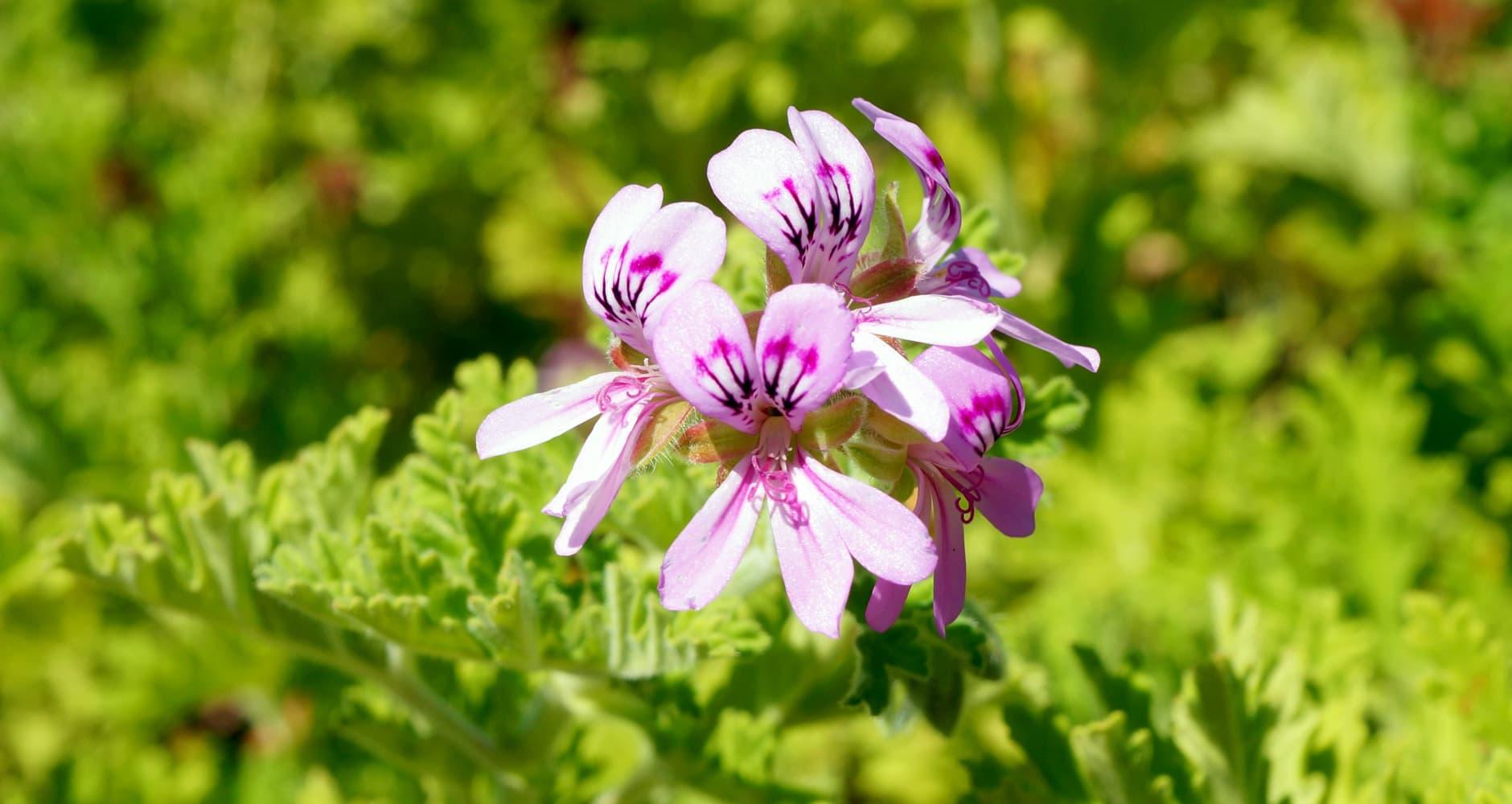 Geranium flower in field