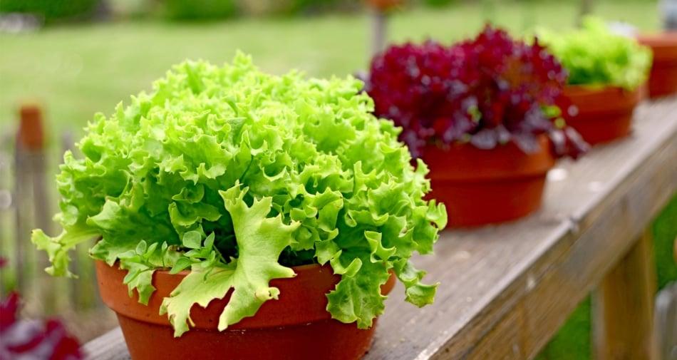 Flowerpot - Lettuce