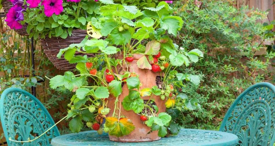 Strawberry plant in a pot on a patio table.