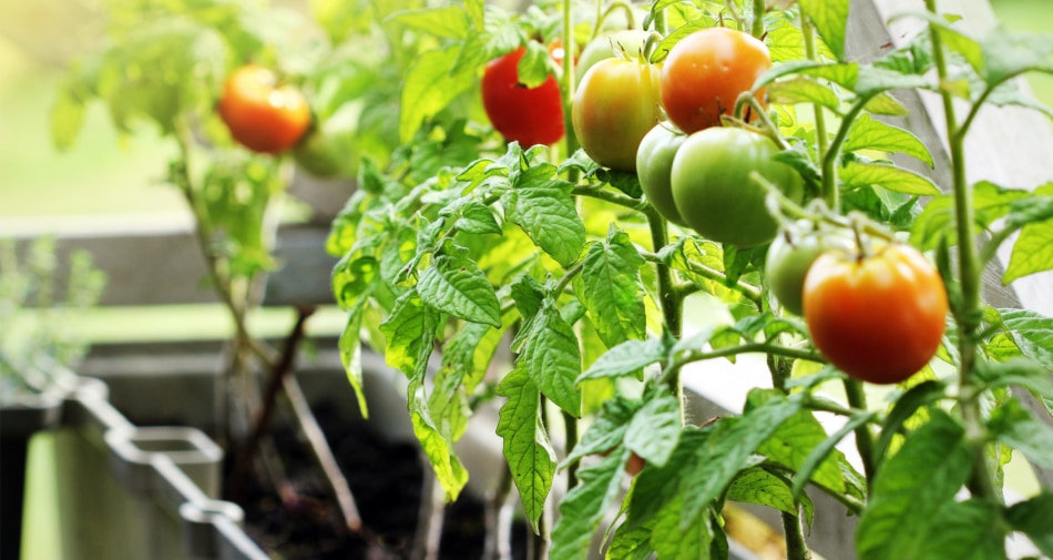 Tomatoes growing in a container garden.